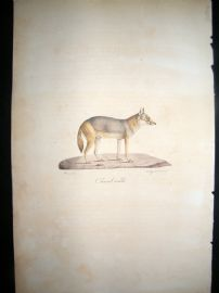 Saint Hilaire & Cuvier C1830 Folio Hand Colored Print. Male Jackal